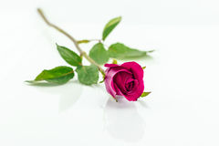 Rosarose lokalisiert mit Schatten horizontal Lizenzfreies Stockbild
