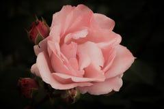 Rosarose mit den Knospen auf einer dunklen Hintergrund-, weichen und romantischenweinleseblume Stockfotos