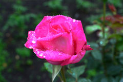 Rosarose mit Tautropfen stockfotografie