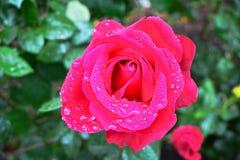 Rosarose mit Tautropfen lizenzfreies stockbild