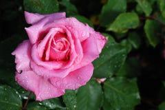 Rosarose mit Tautropfen stockfoto