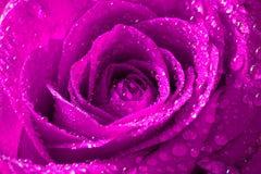 Rosarose mit Wassertropfen Stockbilder
