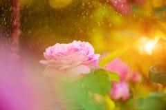 Rosarose am Sonnenuntergangregen Lizenzfreie Stockbilder