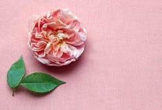Rosarose und -blätter auf rosa Hintergrund Lizenzfreies Stockfoto