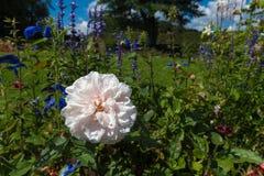 Rosarose und einige blaue Blumen in einem Park Stockfoto