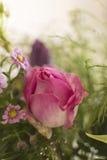 Rosaroseabschluß oben lizenzfreies stockfoto