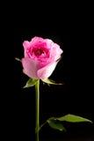 Rosarosen-Studiofoto mit schwarzem Hintergrund Lizenzfreies Stockfoto