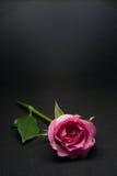 Rosarosen-Studiofoto mit schwarzem Hintergrund Lizenzfreie Stockbilder