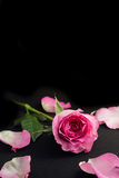 Rosarosen-Studiofoto mit schwarzem Hintergrund Lizenzfreie Stockfotografie
