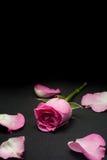 Rosarosen-Studiofoto mit schwarzem Hintergrund Stockfotos