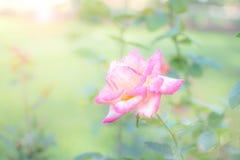 Rosarosen-Unschärfehintergrund stockbilder