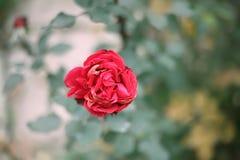 Rosarosenblüte auf Hintergrund von den Blättern Stockbild