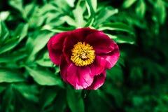 Rosarosenblume auf grünem Hintergrund draußen Stockfotos