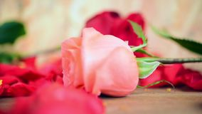 Rosarosenblume an Bretterboden Valentinsgruß ` s Tag stock video