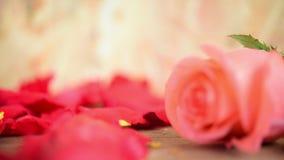 Rosarosenblume an Bretterboden Valentinsgruß ` s Tag stock footage