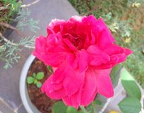 Rosarosenblume an der vollen Blüte lizenzfreie stockbilder