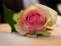 Rosarosenblume mit den grünlichen äußeren Blumenblättern, auf dem Tisch liegend Stockfoto