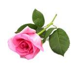 Rosarosenblumen lokalisiert auf weißem Hintergrund Lizenzfreies Stockfoto