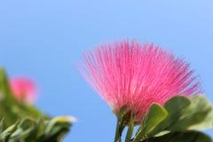 Rosarote Blume, Puderquaste Calliandra-haematocephala Hassk, elegante und fragrand Blume Stockfotos