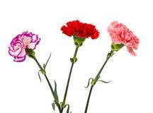 Rosarote purpurrote Gartennelkenblumen lizenzfreie stockfotos