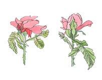 Rosarote rosafarbene Blume des Aquarells mit Blättern Stockfotografie