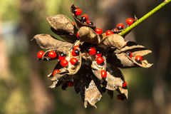 Rosary pea Royalty Free Stock Photos