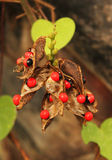 Rosary pea- Jequirity seeds Royalty Free Stock Photos