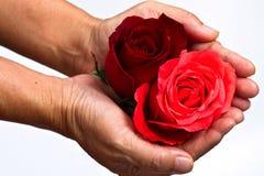 Rosas à disposicão. Fotografia de Stock Royalty Free