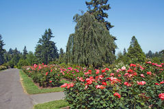Rosas, árboles de hoja perenne y camino de asfalto Fotos de archivo libres de regalías