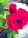 rosas Imágenes de archivo libres de regalías