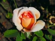 Rosas Fotografia de Stock