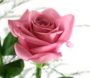 Rosas 3 del regalo imagen de archivo libre de regalías