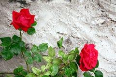 Rosas Fotografía de archivo libre de regalías