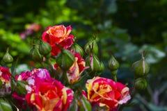 rosas Imagens de Stock