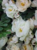 rosas Fotos de archivo