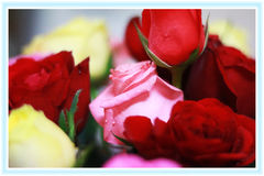 rosas Fotos de Stock