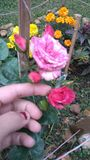 Rosas花 库存图片