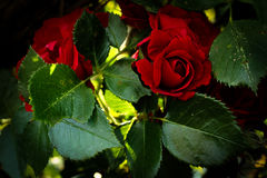 rosas Imagenes de archivo