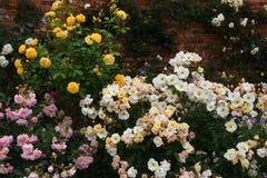 Rosas, abadía de Mottisfont, Hampshire, Inglaterra Foto de archivo libre de regalías