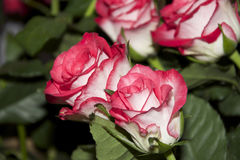 Rosas agradáveis Imagens de Stock Royalty Free