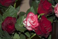 Rosas agradáveis Imagem de Stock