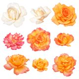 Rosas aisladas en el fondo blanco. ¡Camino del vector! Imágenes de archivo libres de regalías