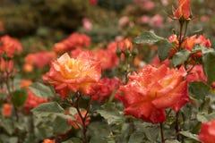 Rosas alaranjadas em um jardim da mola Fotografia de Stock Royalty Free