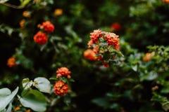 Rosas alaranjadas no norte da Espanha Imagem de Stock Royalty Free