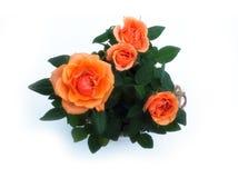 Rosas alaranjadas no potenciômetro isolado no fundo branco imagem de stock royalty free