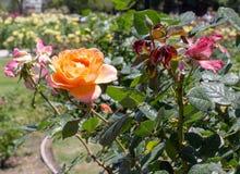 Rosas alaranjadas San Jose Rose Garden, San Jose, Ca Fotografia de Stock