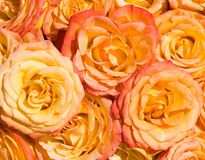 Rosas alaranjadas sob a luz solar brilhante, de imagens de stock