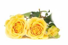 Rosas amarelas. fotografia de stock