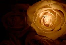 Rosas amarelas Fotos de Stock Royalty Free