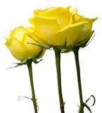 Rosas amarelas imagens de stock